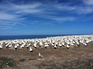 The Gannet colony on the peninsula.