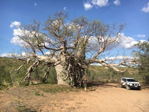 """Prison Boab Tree"" in Wyndham. After using Aboriginals for tracking, they were held captive in this tree at night according to one story."