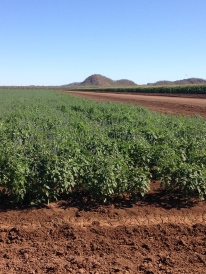 A beautful crop of chia seed growing at a local farm in Kununurra.