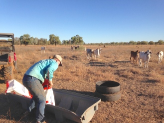 Sarah loading the grain trough for some of the Brahman cattle.