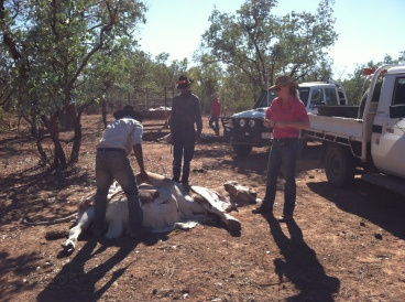 Butchering a nine year old bull for baiting. Feral dogs and Dingoes are problem as they prey on calves. Left to right are young stockmen Garum, Taylor and Georgia getting to work.
