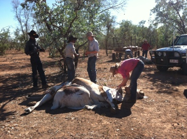 Young stockmen and stockwoman working to prepare meat for baiting. A license is required to do baiting on stations.