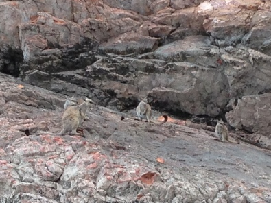 Rock Wallabies are a common sight at Lake Argyle.
