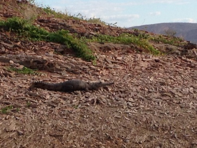 A fresh water crocodile on the shore of Lake Argyle.