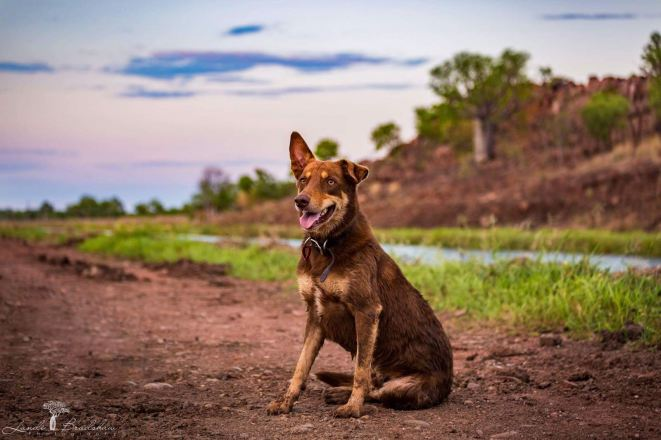 My buddy, Banjo, at the the irrigation canal in Kununurra. Photo my Landi Bradshaw.