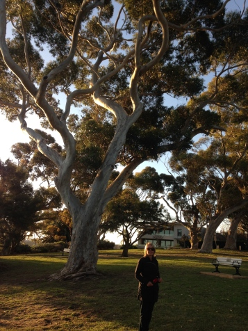 One of several large Sugar Gum trees in Bishop's Reserve, in the neighborhood of Dalkeith, where Gayl lives.