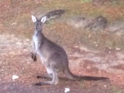 I saw lots of wallabies during my travels, but finally saw my first kangaroo at Tom's farm!!